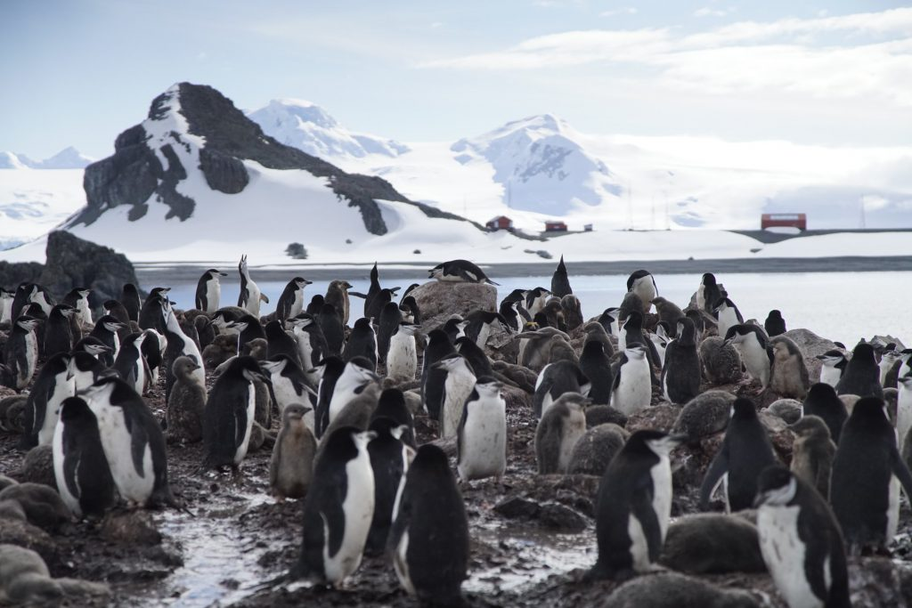 Chinstrap-penguin-colony-Penguins-rely-on-krill-to-feed-themeselves-and-their-chicks-each-season-1024x683