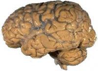 human_brain_nih.jpg