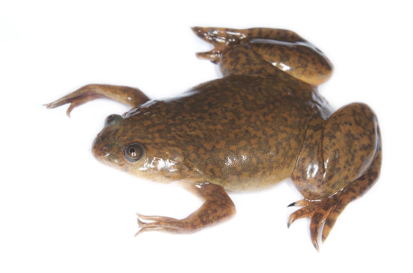 Part Robot, Part Frog: Xenobots Are the First Robots Made From Living Cells