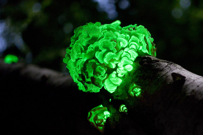 Panellus stipticus, glowing fungi - Wikimedia Commons