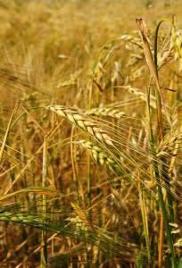 wheat1-204x300.jpg