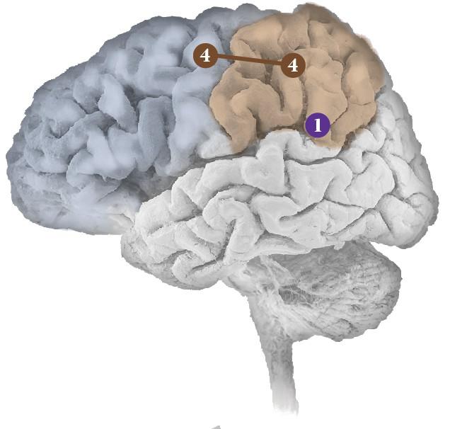 Neural Networks Brain Diagram