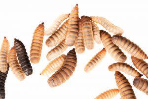 Black Soldier Fly Larvae - Shutterstock