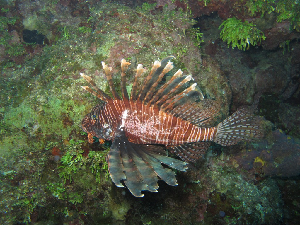 lionfish_fight_loser_alex_fogg-1024x768.jpg