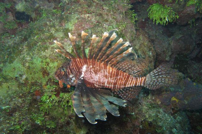 lionfish_fight_loser_alex_fogg-1024x768.jpg
