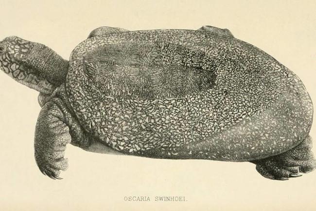 Swinhoe-Softshell-Turtle