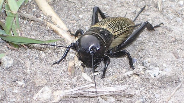 Field_cricket.jpg