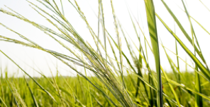 switchgrass.png