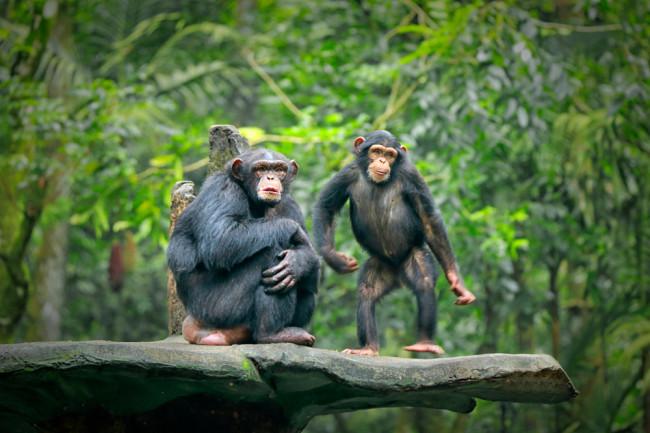 Chimps Stone Throwing