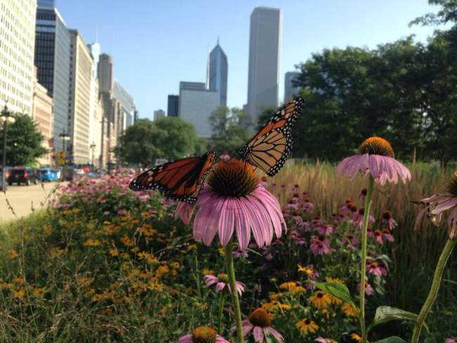 Monarch echinacea Chicago - Field Museum