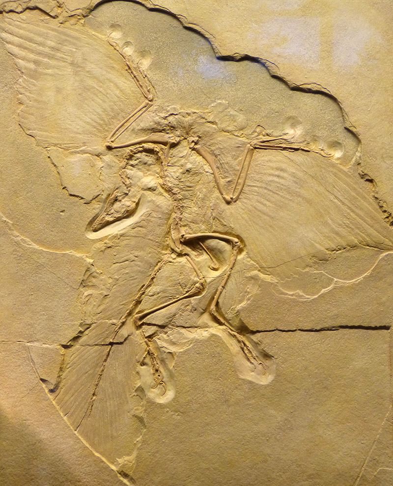 NHM_-_Archaeopteryx_lithographica_Fossil.jpg