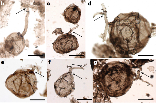 Billion Year Old Fungi Microfossil - Loron et al. 2019