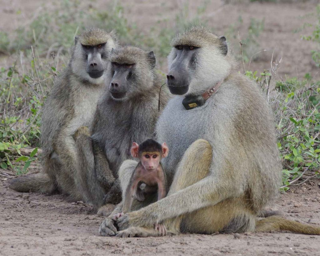Baboons-1024x822
