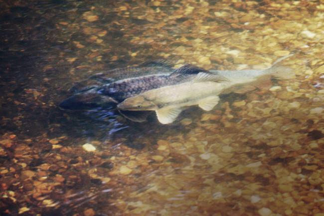 fishspawning.jpg