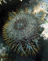 CrownofThornsStarfish.jpg
