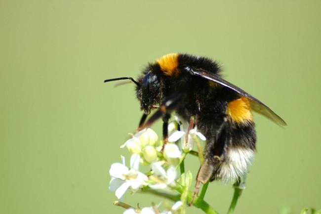 Bumble Bee Bombus terrestris - Wikimedia Commons
