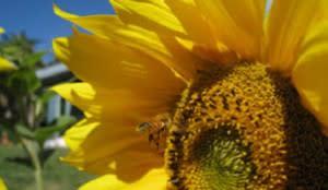 sunflower-300x174.jpg