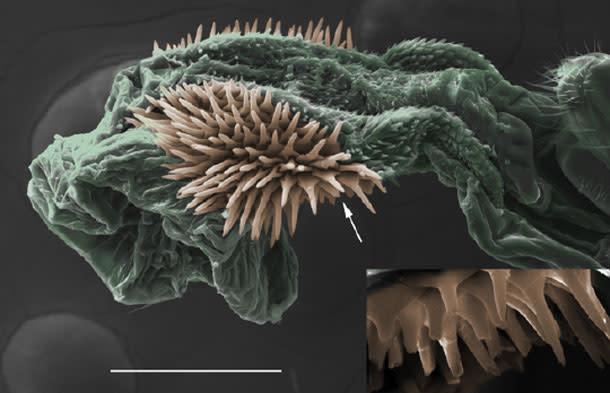 Seed-beetle-penis.jpg