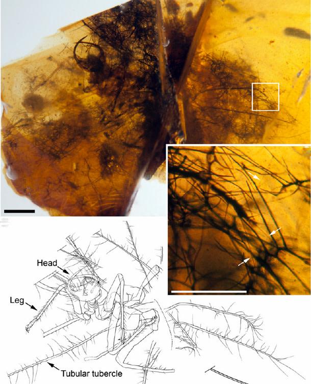 Hallucinochrysa-fossil.jpg