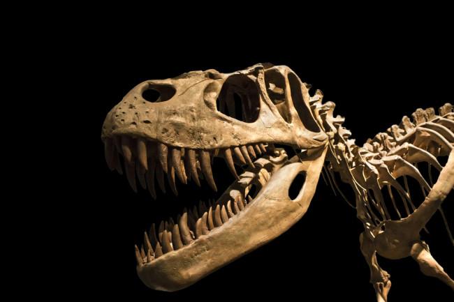 Tyrannosaurus Rex - skeleton - dinosaur - shutterstock
