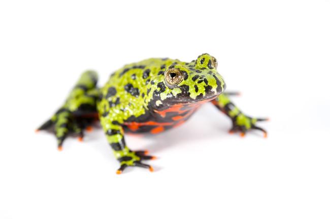 Frog - NaturePL.com