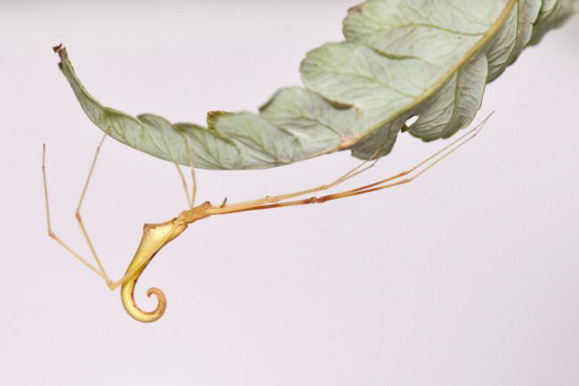 Gold-stick-spider-Ariamnes-uwepa-ecomorph-from-Oahu-CREDIT-George-Roderick.jpg