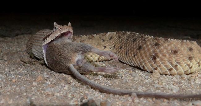 Sonoran-sidewinder-rattlesnake-1024x543.jpg
