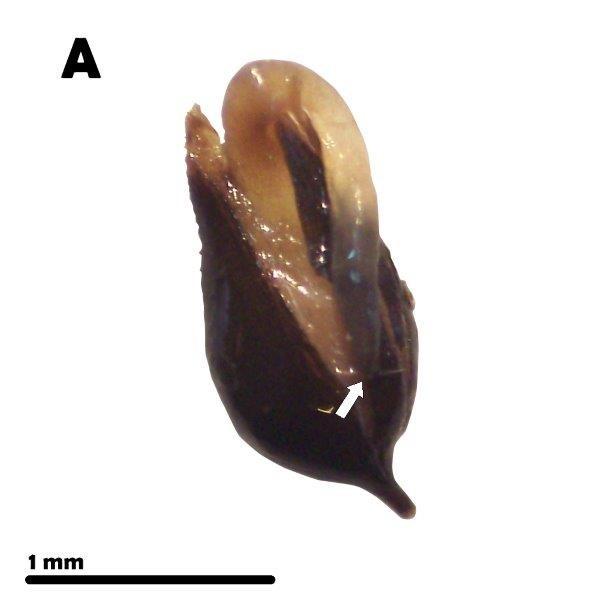 snake-seed-germinated-seed.jpg