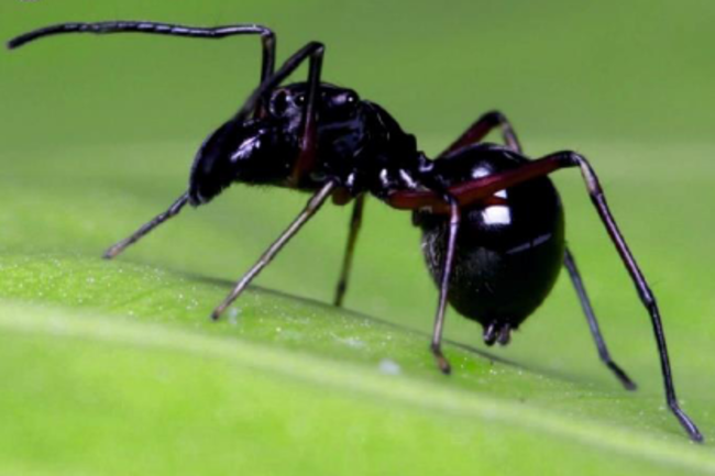 A shiny black jumping spider, Toxeus magnus, resembles an ant.