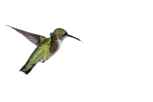 DSC-FL0719 06 hummingbird