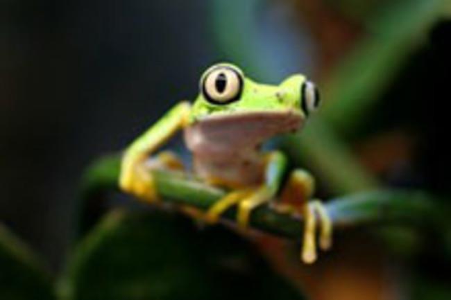 Lemur_leaf_frog_3.jpg