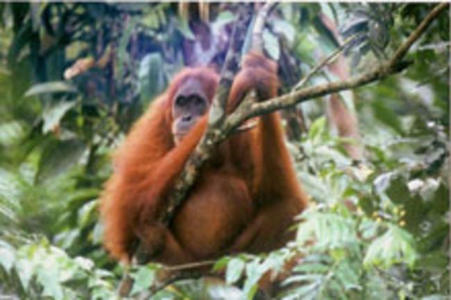 orangutanweb.jpg