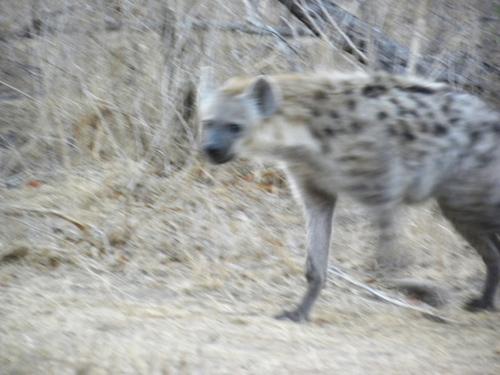 Hyenamoving.jpg
