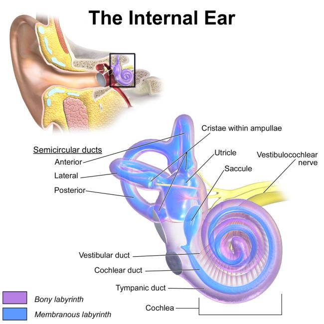 Vestibular System - Wikijournal of medicine