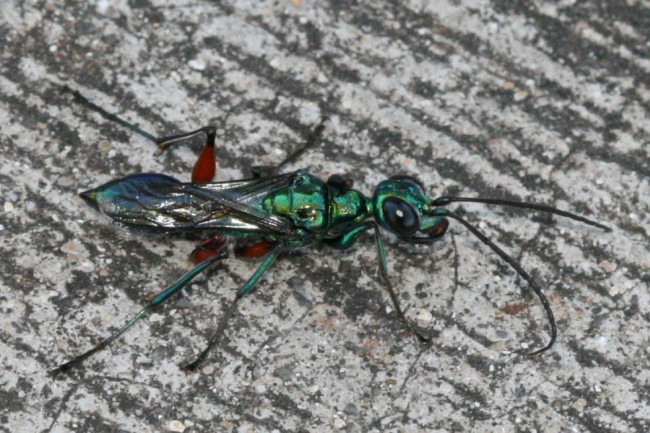 emerald-cockroach-wasp-1024x654.jpg