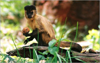 Black-stripedCapuchin.jpg