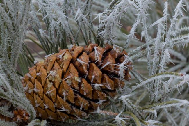 Pine_Cone_Frost-1024x863.jpg