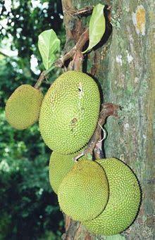 220px-Artocarpus_heterophyllus_fruits_at_tree.jpg