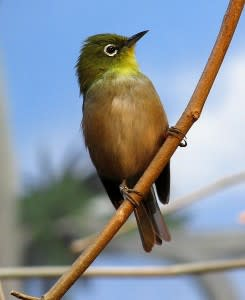 491px-Japanese_White-eye-245x300.jpg