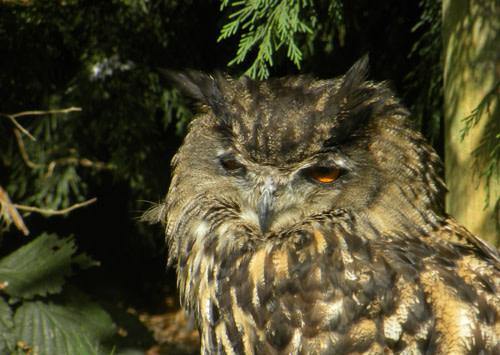 EagleOwl.jpg