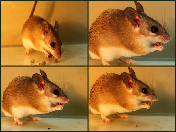 Mouse_spitting_mustard_bomb.jpg