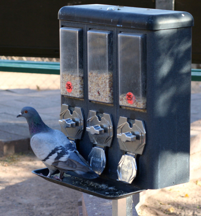 pigeon-slot-machine.jpg
