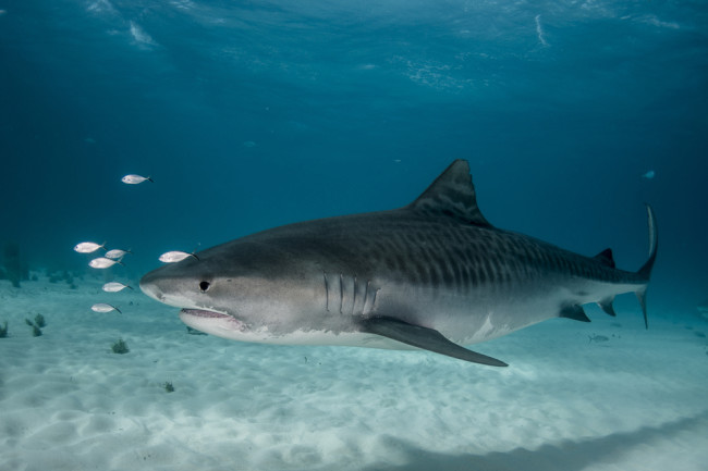 Tiger Shark - Shutterstock