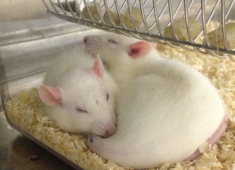 rats-in-home-cage2.jpg