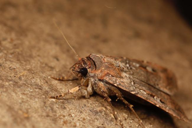Bogong-moth-closeup