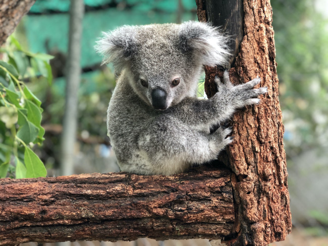 "A koala joey featured in ""Born Wild."" Even the cute animals come with a serious environmental message. (Credit: John Palacio/ABC)"