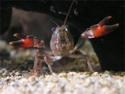 Signal_crayfish.jpg