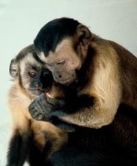 Capuchins.png