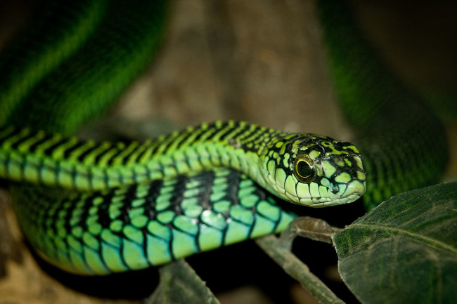 The deadly boomslang, the snake fingered in the death of Karl Patterson Schmidt. Photo by William Warby
