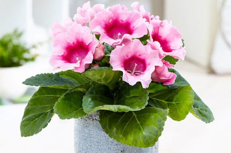 Gloxinia is a flowering plant that will bring beauty into your pet-friendly home.